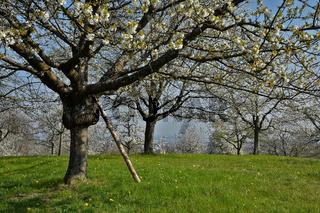 Streuobstwiese mit blühenden Kirschbäumen