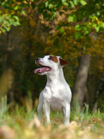 Terrier in a hunting stance