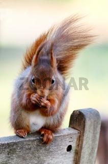 Ein Eichhörnchen frisst eine Nuss.