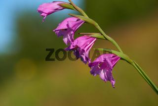 Dachzieglige Siegwurz (Gladiolus imbricatus)