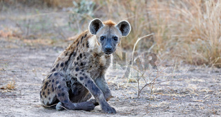 Tüpfelhyäne, South Luangwa NP, Sambia, (Crocuta crocuta) |  spotted hyena, South Luangwa NP, Zambia, (Crocuta crocuta)