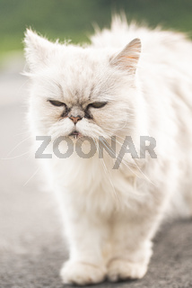 White persian cat with black Tear Stains under eyes.