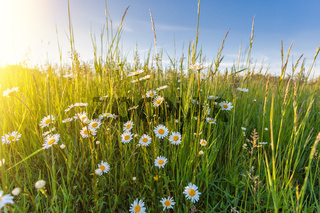 White flowers ox-eye daisy
