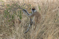patas monkey or hussar monkey who is sitting on a bush in the savannah