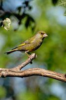 Grünfink im Baum