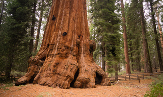 Base Roots Giant Sequoia Tree Forest California
