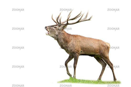 Red deer stag with massive antlers roaring in rutting season isolated on white