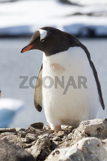 Gentoo penguin standing on a rock by the ocean