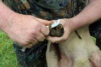 Hufpflege beim Schaf