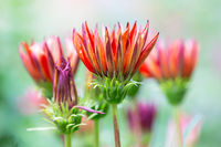 Red flowers Gazania at shallow depth background