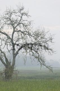 Knorrige Esche im Morgennebel