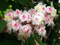 Gewöhnliche Rosskastanie (Aesculus hippocastanum) oder Weiße Rosskastanie - Blütenstand