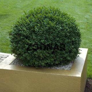 Buchsbaum; Buxus sempervirens