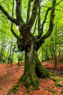 Idyllic forest landscape with mossy beech trees.