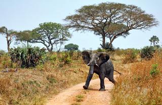 Elefant im Murchison Falls Nationalpark Uganda (Loxodonta africana)   Elephant, Murchison Falls National Park Uganda (Loxodonta africana)