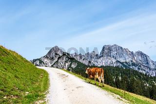 Blick auf die Litzlalm mit Kuh in Österreich