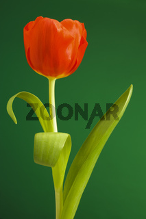 single tulip looks like a dancer