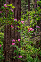 Purple Flowers in the Redwood Forest