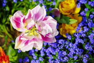 Offene Tulpenblüte rot-weiß-gelb blühend mit unscharfen Blumen als Hintergrund