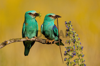Couple of two european rollers sitting in summer nature with blurred background