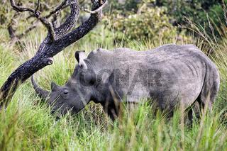 Rhinos im Ziwa Rhino Sanctuary, Uganda | Rhinos at Ziwa Rhino Sanctuary, Uganda