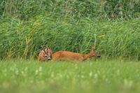 Roe deer male sniffing female in rutting season on meadow.