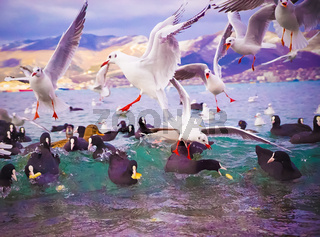 Seagulls and Fulica atra coots on the sea waves gathered in a flock and are looking for food.