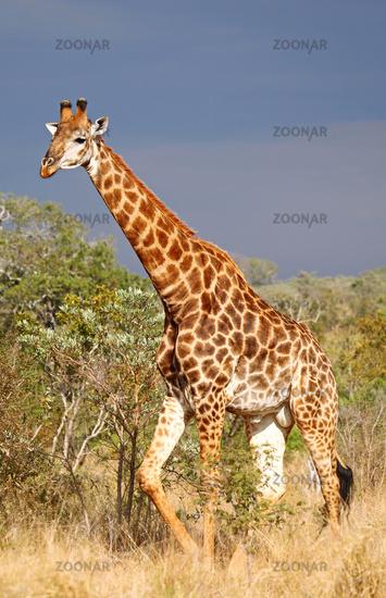 Giraffe vor Gewitterwolken, Südafrika, Kruger Nationalpark; giraffe with thunderclouds in south africa, Kruger national park
