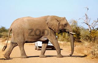 Elefant geht über die Straße vor einem Auto im Kruger Nationalpark Südafrika; african elephant crossing the street, south africa, wildlife