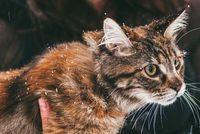 A motley cat sits in the hands of the owner. Outside in the winter. Snow falls. Selective focus macro shot with shallow DOF