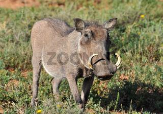 African Wildlife: Warthog