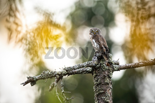 Beautiful small eurasian pygmy-owl perched on a stump in the forest