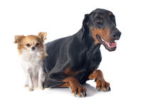 doberman and chihuahua