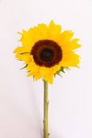 Close up of fresh summer sunflower lying on white background