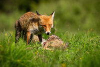 Red fox feeding on vivid meadow in summer sunshine