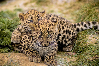 BABY AMUR LEOPARD PLAYING