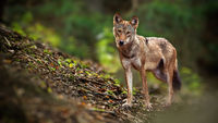 Alert wolf facing camera in summer forest from front view with copy space.