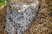 Ameisenbau rund um einen Baumstumpf