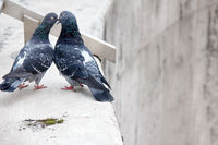Spring is in air and love is everywhere pigeons kissing and mating