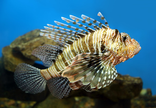 lionfish zebrafish underwater