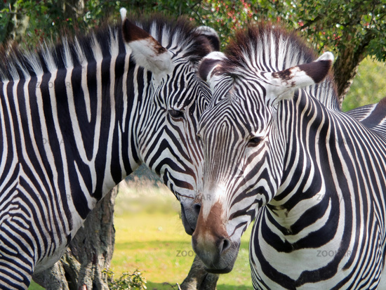 a close up of the heads of two grevys zebras in front of grass and trees
