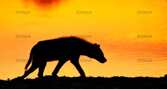 Tüpfelhyäne im Sonnenaufgang, Etosha-Nationalpark, Namibia, (Crocuta crocuta)   spotted hyena in the sunrise, Etosha National Park, Namibia, (Crocuta crocuta)
