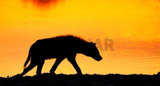 Tüpfelhyäne im Sonnenaufgang, Etosha-Nationalpark, Namibia, (Crocuta crocuta) | spotted hyena in the sunrise, Etosha National Park, Namibia, (Crocuta crocuta)
