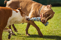 Two dogs amstaff terrier playing tug of war outside.