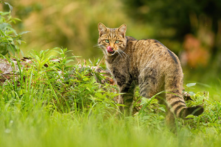 European wildcat, felis silvestris, licking its mouth with pink tongue in summer