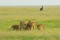 Lion Family of five, Maasai Mara National Reserve, Kenya, Africa