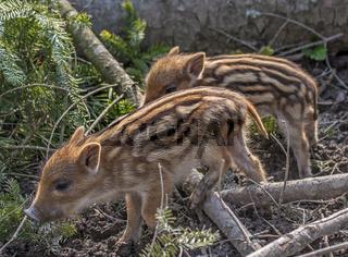 Wildschwein Frischlinge 'Sus scrofa'