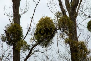 mistletoe on trees in autumn