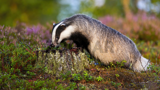 European badger standing on a stump and sniffing with snout in summer at sunrise