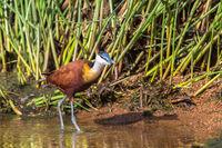 Bird AfricanJacana